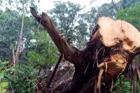 Photo of a tree that has been felled after storm damage.